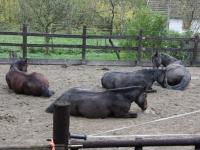 liegende Pferde